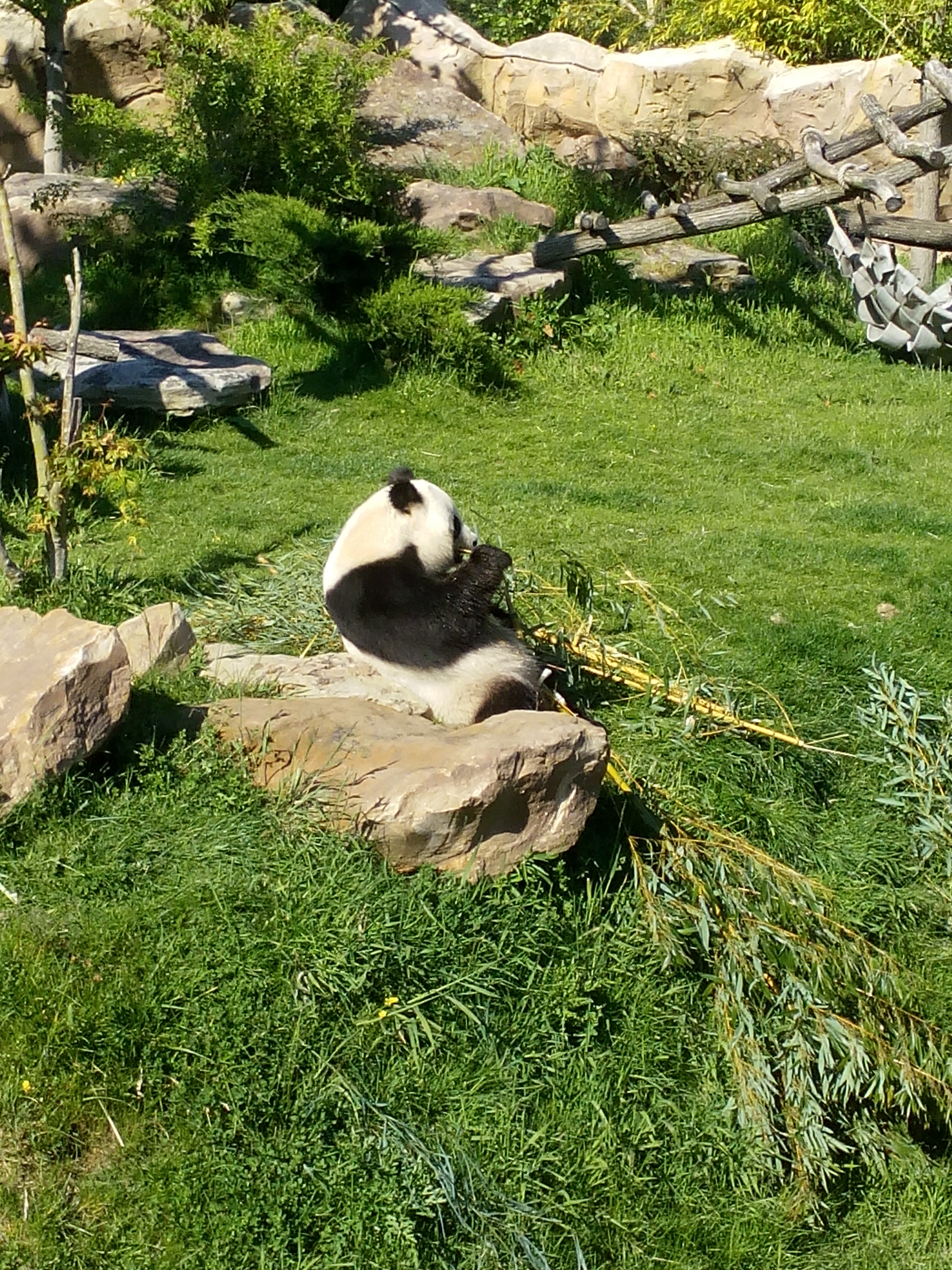 Panda at the ZooParc de Beauval